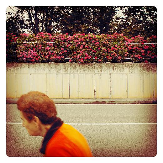 Torrelavega - hortensias rosas