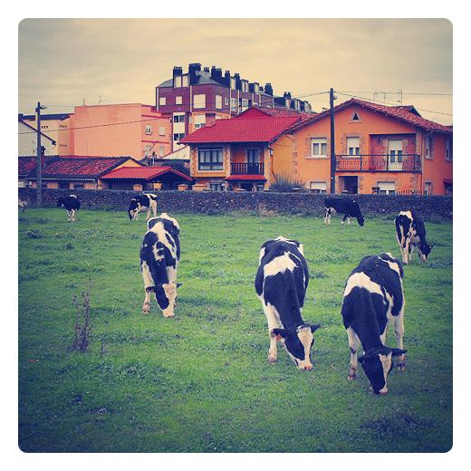 Torrelavega - vacas pastando