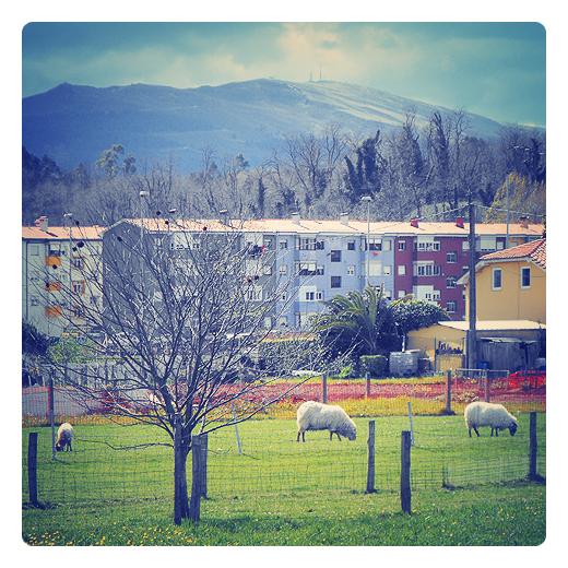 Torrelavega - ganado ovino