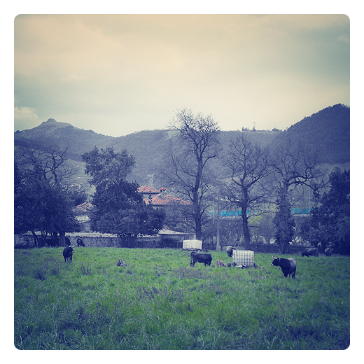 Torrelavega - paisaje con vacas