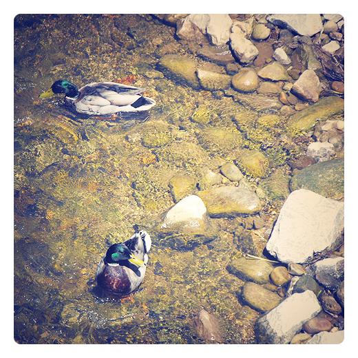Torrelavega - patos salvajes