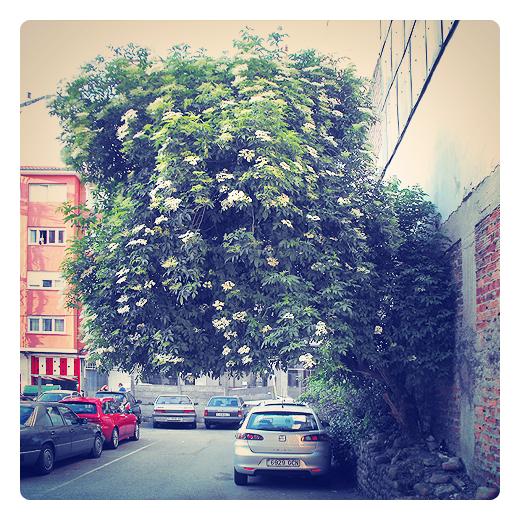 arbol del equilibrio, arbol que crece en una tapia, urbanarbolismo en Torrelavega