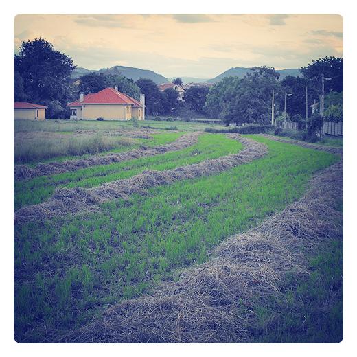 campo segado, labor agricola, prado, hierba seca esparcida en Torrelavega