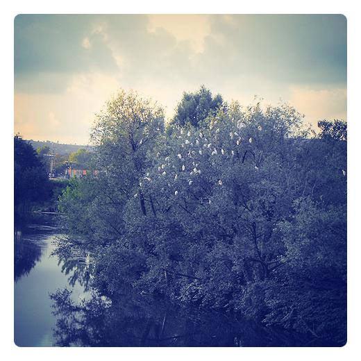 zona de descanso, arbol con aves, rio, garcilla bueyera en Torrelavega
