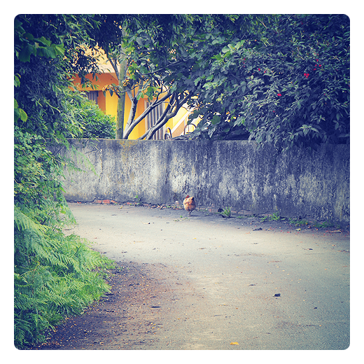 escapada, rebelion, aventura, libertad, extramuros, gallina, carretera comarcal, huerta, rosas rojas, animales de granja en Torrelavega