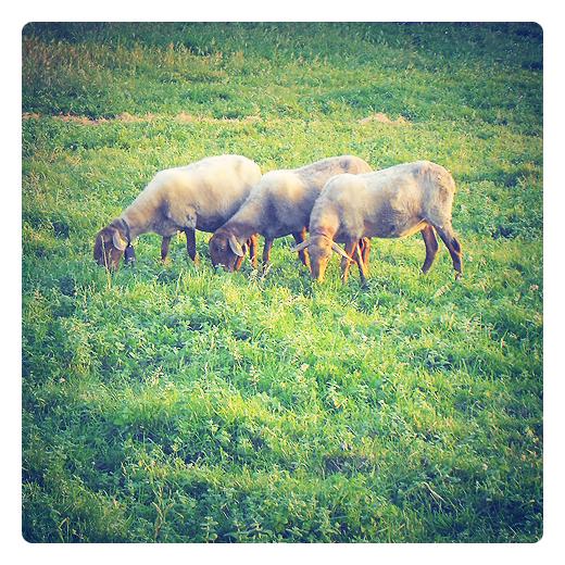 ovejas trasquiladas, ganado ovino, oveja domestica, rumiantes, aprovechamiento lana, esquilar, pelar, prado verde, usos ganaderos en Torrelavega