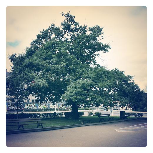 roble, Quercus, alcornoque, hoja perenne, arbol, bolera, longevidad, mito, bellotas, reivindicacion vecinal, conservacion, clima oceanico, paisaje arboreo en Torrelavega