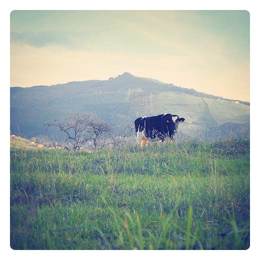 vaca pinta, raza frisona, vaca lechera, prado de diente, vaca pastando, ganado bovino, herbivoro comiendo, paisaje con arbol, horizonte de montaña, monte Dobra, actividad ganadera en Torrelavega