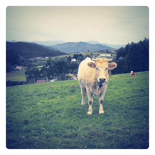 vaca bruna, pirenaica, raza bovina, ganado bovino, prado con vaca, explotación ganadera, horizonte de montañas, paisaje de arboles y montañas, prado de diente, agricultura y ganaderia en Torrelavega
