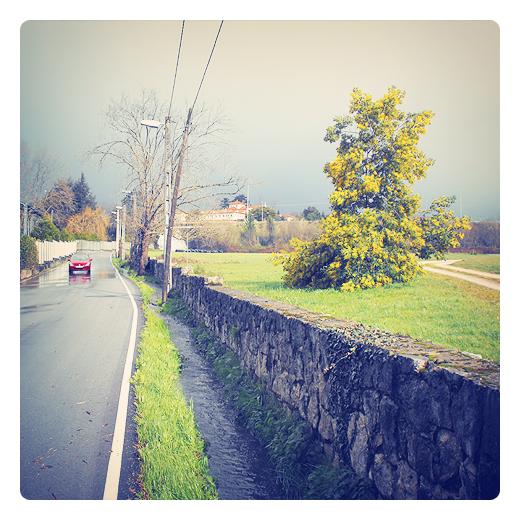 mimosa, arbol, paisaje de arboles, carretera comarcal, regato, drenaje carretera, reflejos agua, muro de piedra, Tronquerias, fotografia de Torrelavega