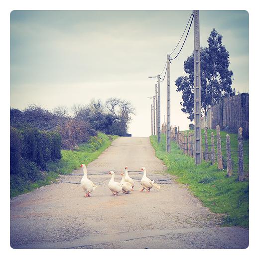 Ocas, gansos, anser anser domesticus, aves de corral, animales sueltos, carretera local, red electrica, animales de granja, fotografia de Torrelavega