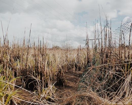 especie invasora, lucha, erradicacion, quema de plumeros, tierra quemada, paisaje desolado, fotografia de Torrelavega