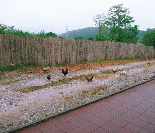 tierra de nadie, frontera, fin zona urbana, acera, camino, gallinas, animales de granja, animales sueltos, empalizada, fotografia de Torrelavega
