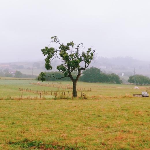 arbol solitario, paisaje de arboles, niebla, bruma de montaña, prado, Quiamingo, Tanos, fotografia de Torrelavega