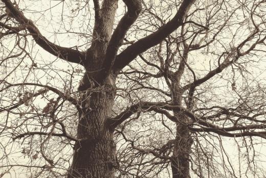arboles sin hojas en invierno, ramas, tronco, corteza, fotografia de Torrelavega