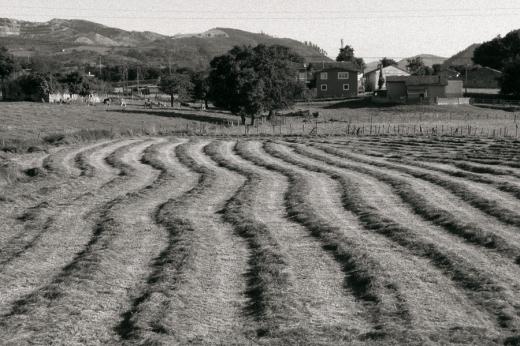 Prado segado, montones de hierba, hileras, lineas