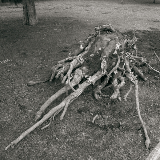 raiz de un arbol arrancado, parque manuel barquin