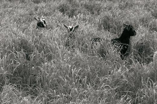 tres cabras asoman la cabeza entre la hierba, paisaje rural, ganaderia, granja